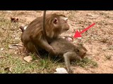 OMG, Pigtail Ashley attack Big monkey so bad, Big monkey Cry loudly.