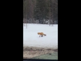 Нормальный такой прицел у лисицы