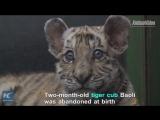 Тигр – лучший друг человека