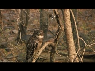 невозмутимая сова