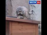 Довольный и вальяжный обитатель Московского зоопарка - манул