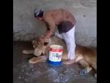 Если вы никогда не видели, как моют льва, то смотрите