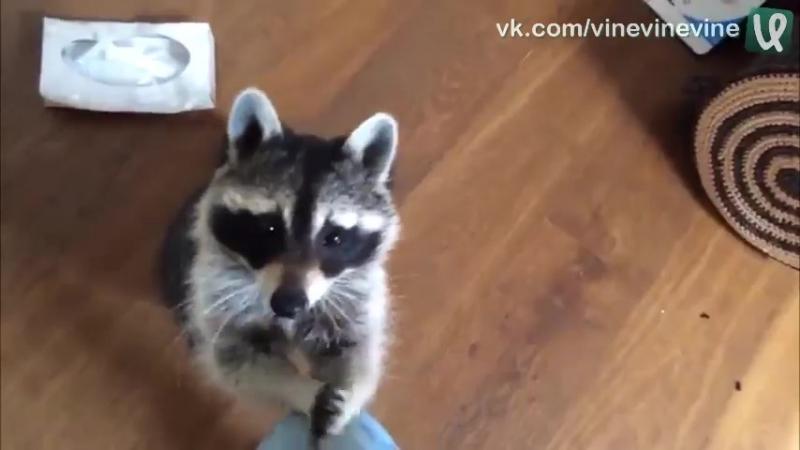 Что делает енот, когда хозяйка чихает
