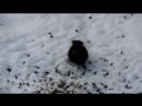 Чёрный дрозд клюёт очищенные семечки подсолнуха.