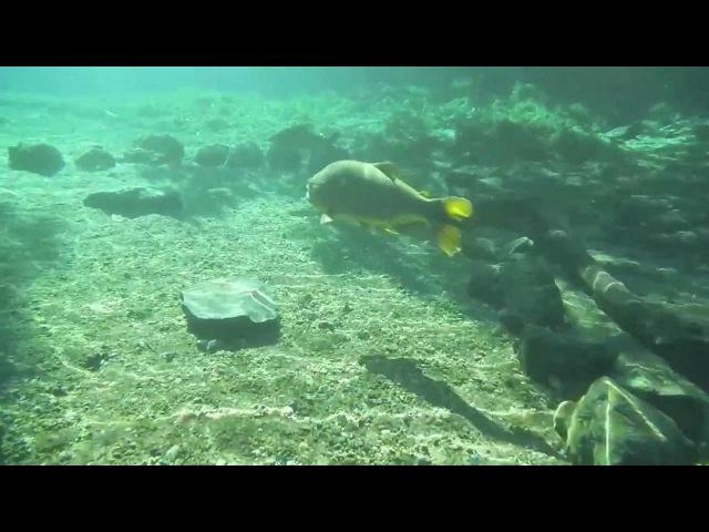 Snorkeling at Rio da Prata - Golden Dorado (Salminus brasiliensis)