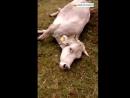 Atac de voltors a una vaca que acabava de