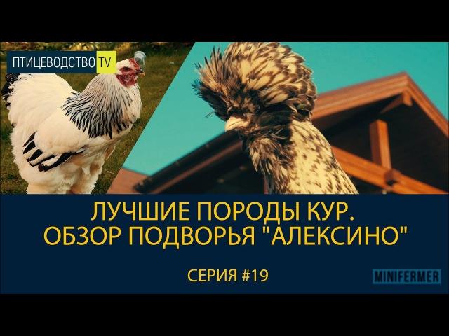 Лучшие породы кур. Обзор подворья Алексино Питомник породистых кур