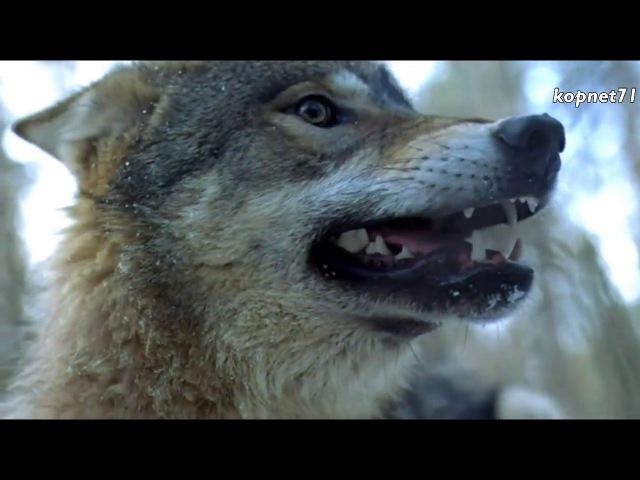 Волчья кровь Комиссар