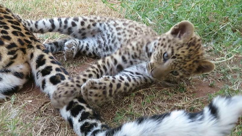 Хвост мамы-леопарда [Babette De Jonge]