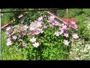 I 8447 клематисы слева покупала КАК ФОНД МЕМОРИС ПОХОЖ НА Джон Пиктон На заднем плане Маньчжурский белый мелкоцветковый