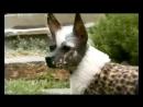 101 dogs Введение в собаковедение Перуанская орхидея инков