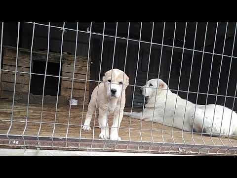На продаже Лейла щенок САО алабая питомник Гарджи Хан