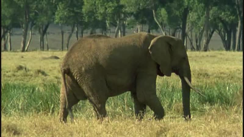 BBC Ребятам о зверятах Слон