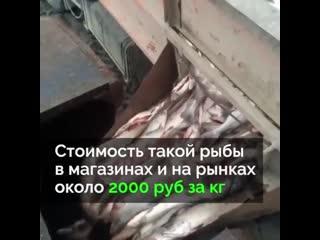 Чтобы не снижать цену на лосося, тонны свежей рыбы уничтожают
