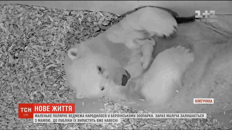 У берлінському зоопарку на світ зявилося полярне ведмежа