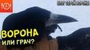 Такие разные грач и ворона В чем отличия между этими видами