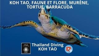 Koh tao, faune et flore, murène, tortue, barracuda avec le centre de plongée Thailand Diving Pattaya