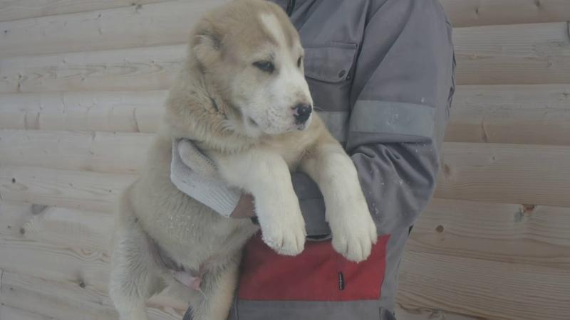 Тамир щенок питомника Гарджи Хан 2 5 мес