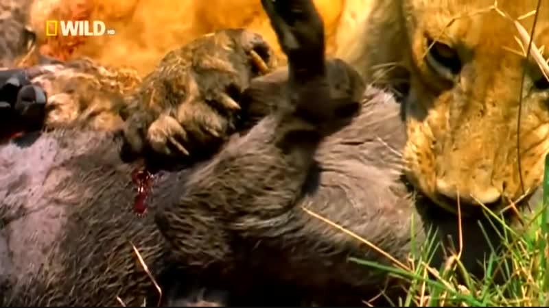 Доисторические хищники саблезубый тигр 2007 год