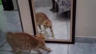 Кот обосрался, рассматривая себя в зеркале