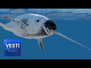 Thar She Blows! Russian Research Team Runs Into Large Group of Rare Narwhals in Arctic!