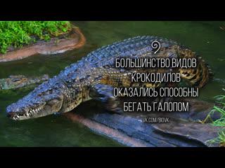 Крокодилы бегают галопом / crocodiles can gallop