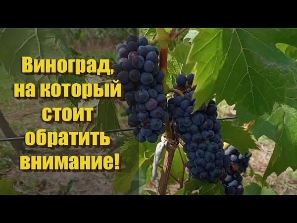 Обзор сортов винограда без химии МАРКЕТТ СЕНТ КРУ СВЕНСОН РЕД ЛЕОН МИЙО и многие другие!