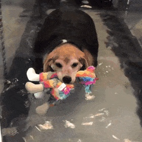 Rescue chonk has a support toy while it exercises Create Discover and Share Awesome GIFs on Gfycat