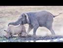 Elephant Tramples Rhino Baby!