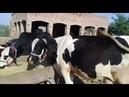 Australian cow Cow farm Zoo Network