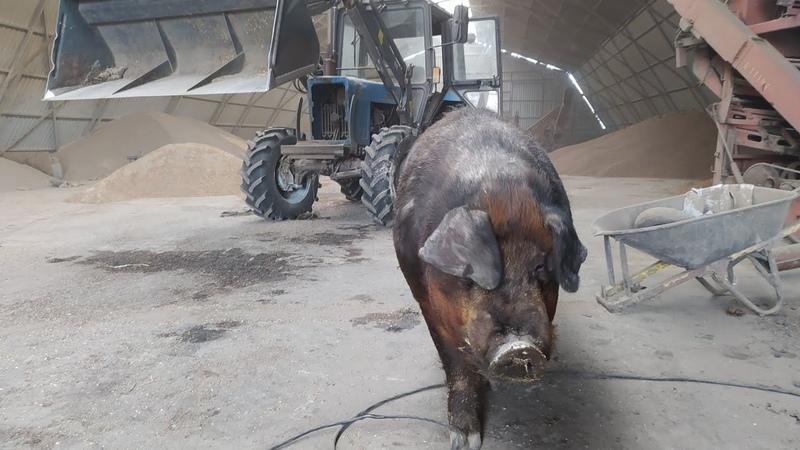 ЭКО свинина в Барнауле Ремонт фермы Два слова про глубокую подстилку