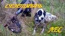 Охота сентябрь С легавой на боровую