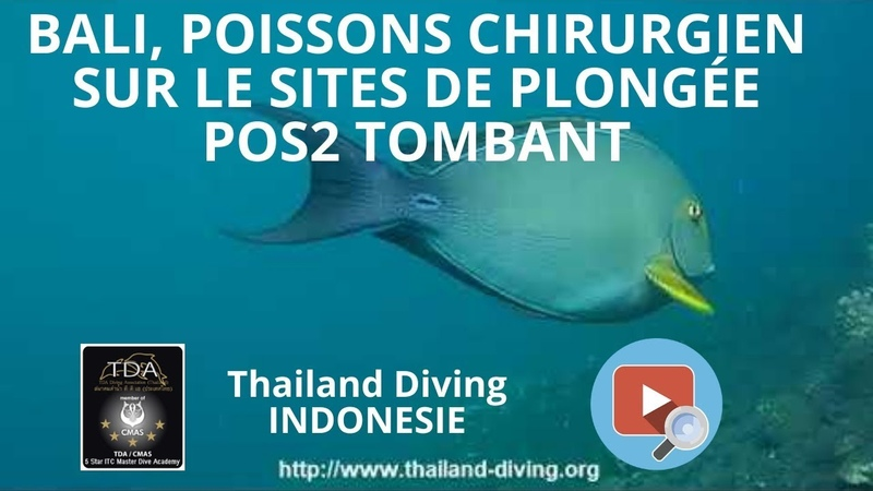 Bali, poissons chirurgien sur le sites de plongée POS2 Tombant avec le club Thailand Diving Pattaya