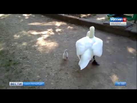В Гатчине овдовевший лебедь в одиночку воспитывает единственного уцелевшего птенца