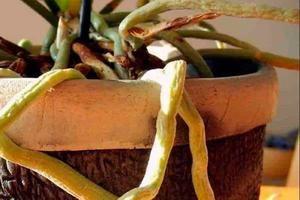 Почему сохнут воздушные корни орхидеи и что делать?, изображение №3