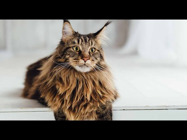 Shorthair MaineCoon 🐈 Cats Make Me Happy Funny Cat