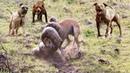 Đàn chó gan to như súng săn cả rắn hổ mang trăn khủng Giải cứu bạn tình hấp dẫn