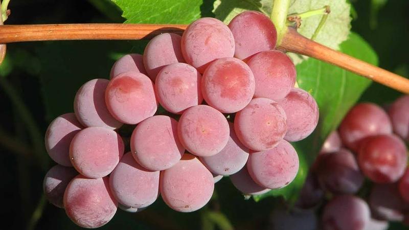 Сорта винограда без косточек Зимостойкий кишмиш для ваших детей