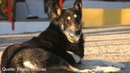 Schäferhund wacht elf Jahre lang am Grab seines toten Herrchens und stirbt selbst dort