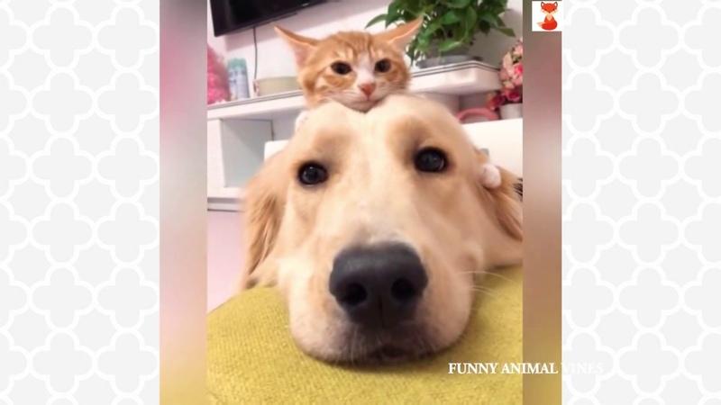 Gentle Golden Retriever and Cuddly Kitten Are Pure Cuteness 2019