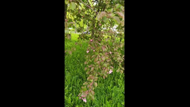 Яблоневый цвет Ольга