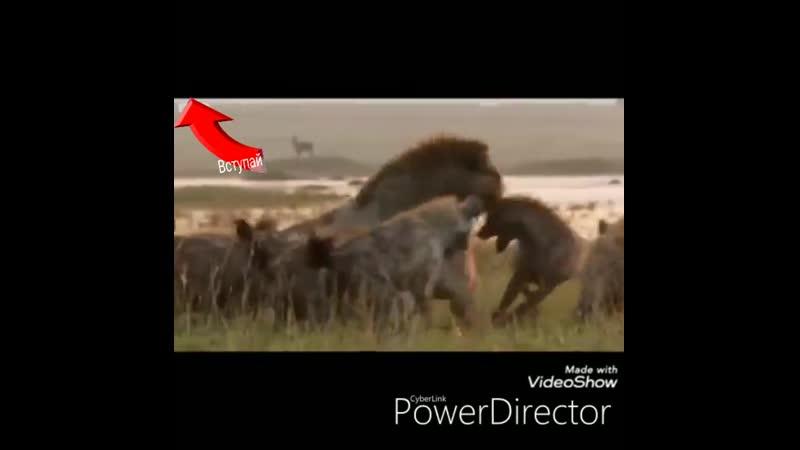 Вот он и наглядный пример что Даже льву одному тяжело но когда приходит брат вместе сила..