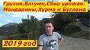 Грузия Батуми Сбор урожая Мандарины Хурма и Буглама
