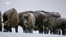 Nat Geo Wild Волчьи горы / The Wolf Mountains 2013 1080i