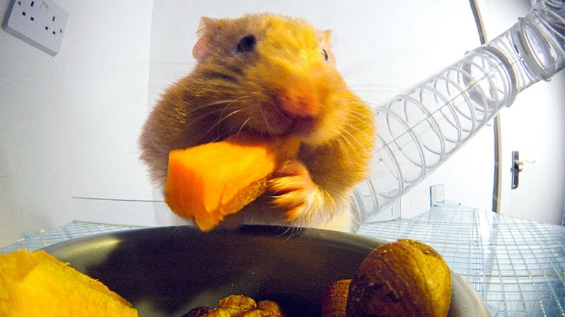 THIS Is How Hamsters Fit So Much Food Inside Their Cheeks Pets Wild At Heart BBC Earth