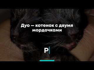 Дуо — котенок с двумя мордочками