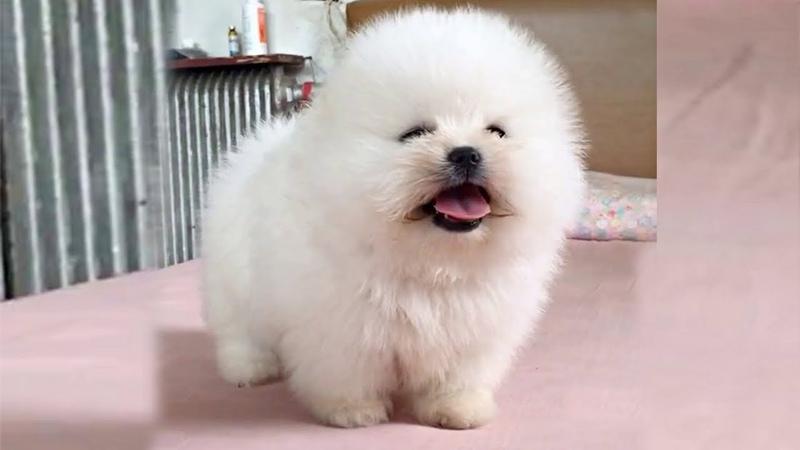 Super Cute Fluff Ball Boi