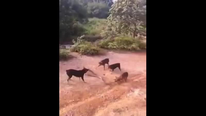 Стая собак атакует огромную кобру