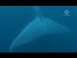 Большой синий кит The Big Blue (2006)