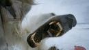 Wild Polar Bear Tries To Break In BBC Earth
